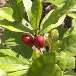 Conheça a Miracle Fruit